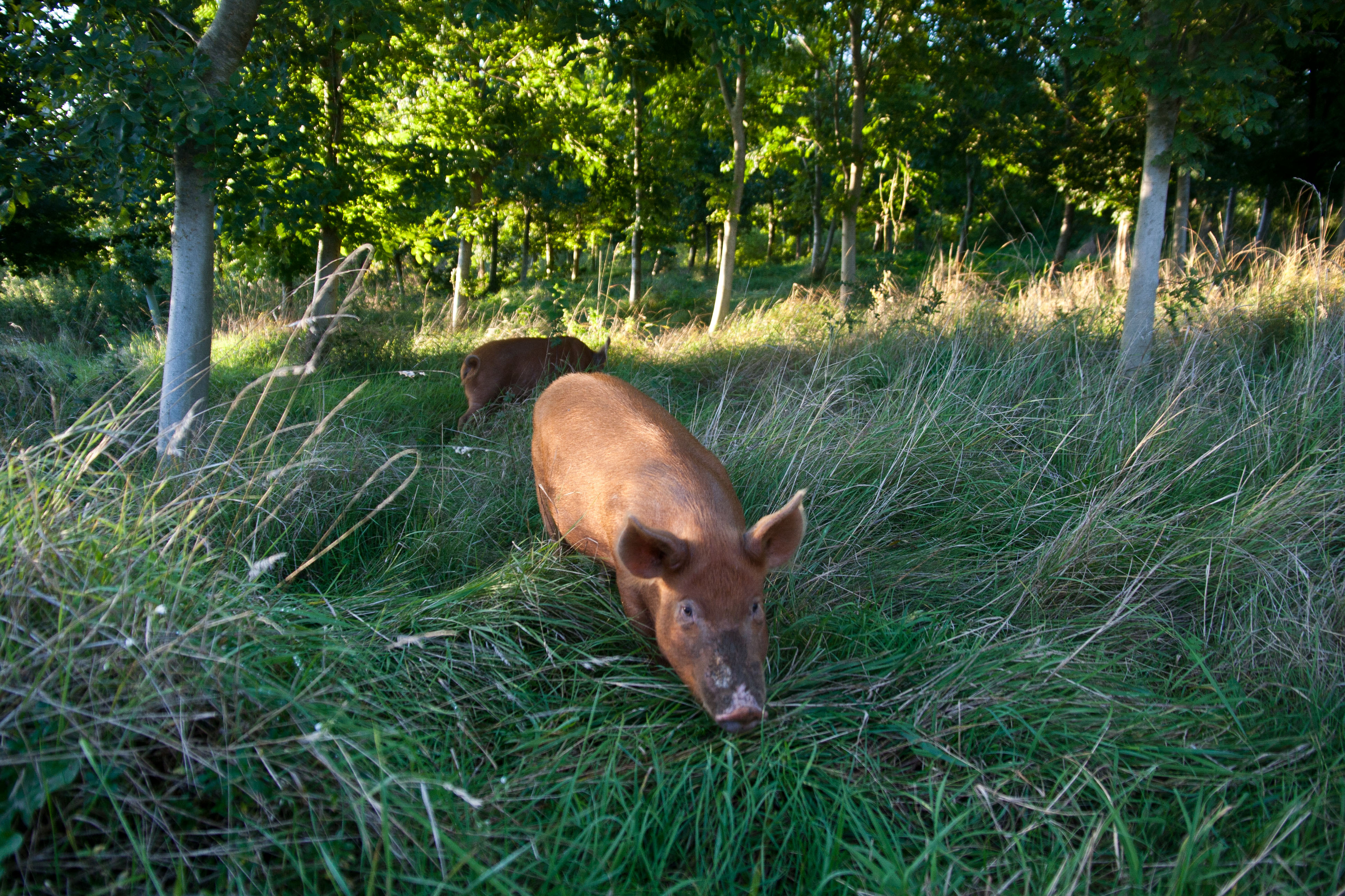 0 2015 09 21 Pigs in clover 2